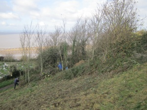 coppicing sycamore on Church Hill 2014