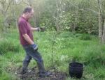 planting downy birch