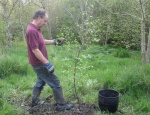 planting downy birch