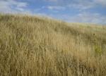 ragwort on Wain's Hill