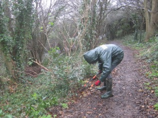 removing Holm oak shoots in the rain