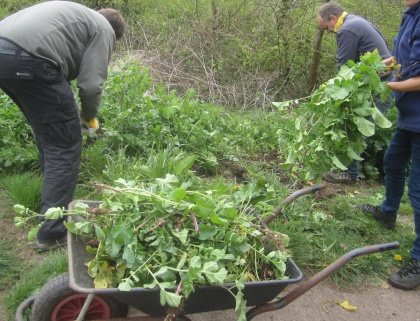 removing invasive wild radish