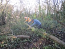 cutting-up-a-felled-sycamore