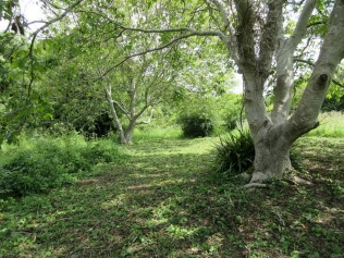 Walnut trees on Dial Hill