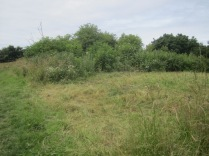 area cleared of everlasting sweet-pea by scything