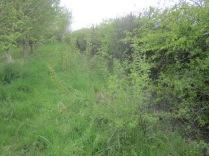 blackthorn suckers in grassland