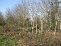 felling self-seeded ash