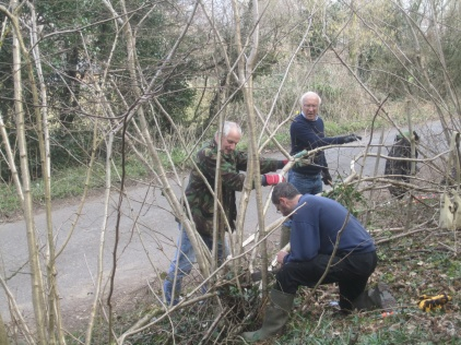 laying hazel as a roadside hedge