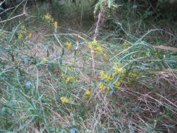 Oxford ragwort, more often seen along the motorway