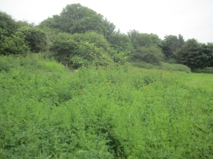 regrowth before scything - goosegrass, bindweed, nettles, sow thistle ...