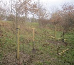 two-pussy-willow-newly-planted