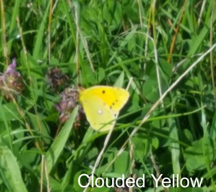Clouded Yellow on Poet's Walk summer 2017