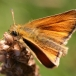 Essex skipper (male)
