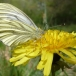 green-veined white