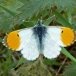 orange-tip male