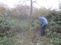 clearing-around-a-self-set-sapling-prior-to-felling