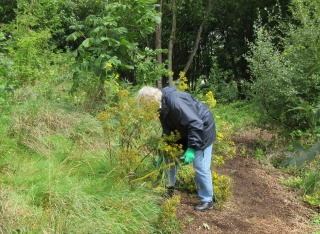 digging out ragwort with a ragfork