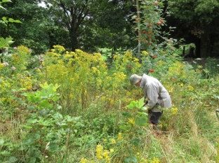 In this rather fertile and shady place the ragwort has grown very tall