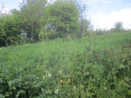 invasive wild radish on Church Hill
