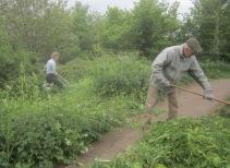 scything wild radish and raking off
