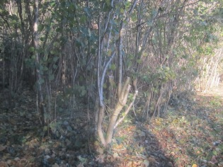 hazel-coppiced-at-a-height-to-prevent-browsing-by-deer