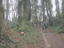 2-sycamores-beside-the-path-felled