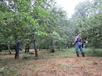 brush-cutting and raking the orchard floor