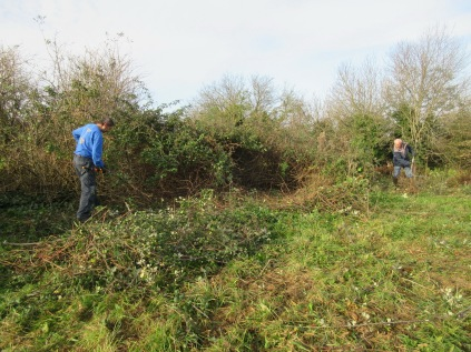 cutting back brambles with loppers and hook