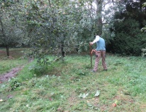 scything the orchard floor