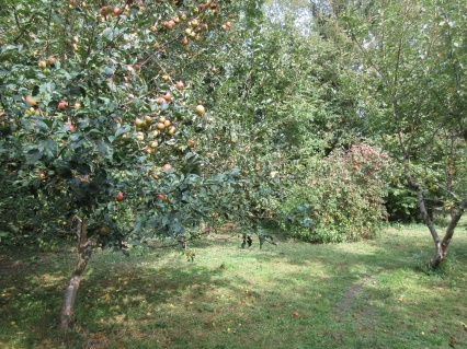 the orchard floor mown ready for the cider apple harvest
