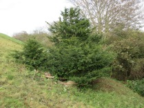 this yew tree is a special feature of the slope