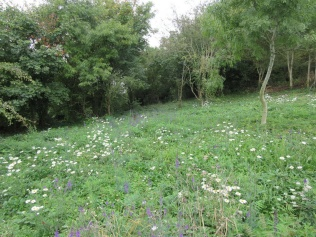 Oxeye daisy and purple toadflax colonise the area where sumac has been cleared