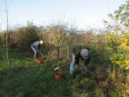 planting Sweet Briar (Rosa rubiginosa) in the hedge