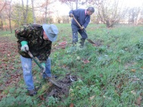 planting two Purging Buckthorn (Rhamnus cathartica)