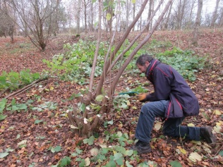 coppicing hazel