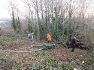 cutting out sycamore at the woodland edge