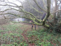 cutting the lower branches to provide access under an oak