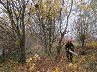 felling a field maple