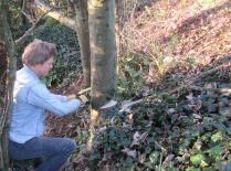 felling a self-set sycamore