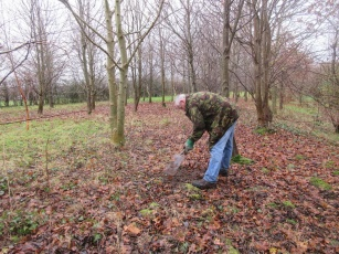 planting wild bluebells in Quinney's Wood