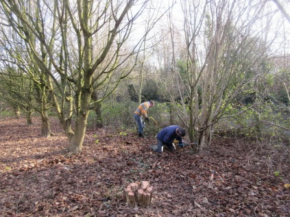 coppicing hazel (field maple to the left)