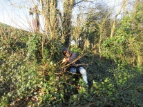 cutting out new sycamore shoots