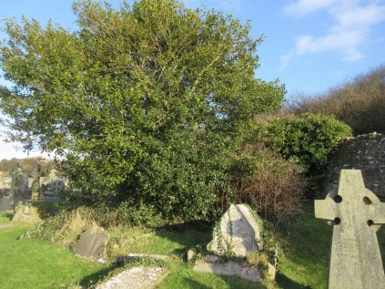 holly tree enveloping old graves