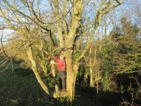 removing low hanging sycamore branches