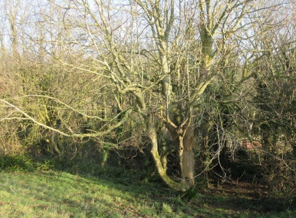 the lowest hanging branches to be removed to allow light and access below