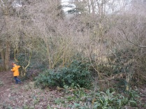 a young hazel is given more light by cutting back elder