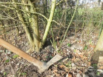 brambles in the hedge can be rooted out with a mattock