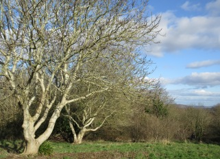 walnut trees in winter