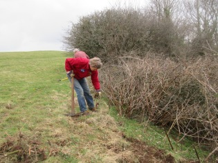 digging out bramble roots at the edge of the grassland