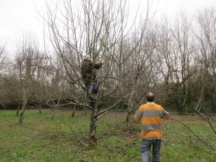 pruning to reduce height and spread